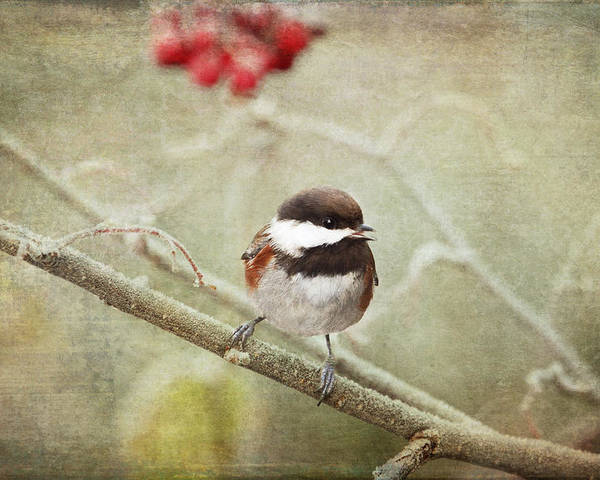 Chickadee Poster featuring the photograph Chickadee In Winter by Peggy Collins