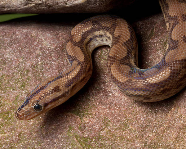 Animal Poster featuring the photograph Colombian Rainbow Boa Epicrates Maurus by David Kenny
