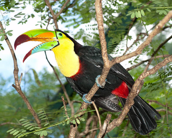 Toucan Poster featuring the photograph Colorful Toucan by Joe Belanger