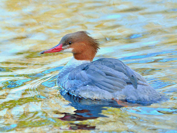 Duck Poster featuring the photograph Common Merganser by Kathy King