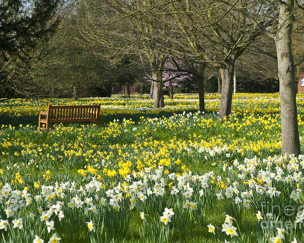 England Poster featuring the photograph Daffodils by Lana Enderle