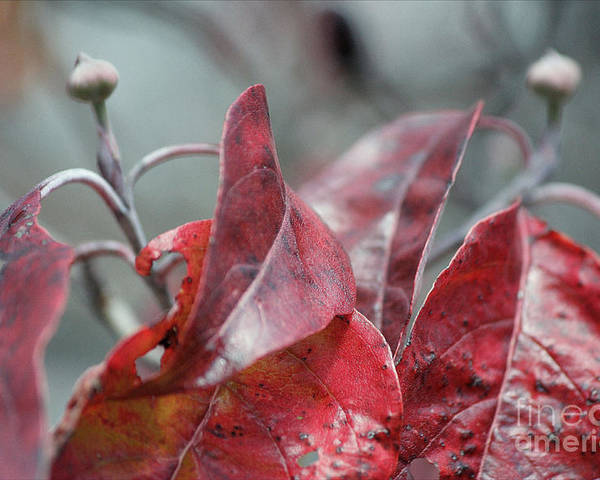 Dogwood Autumn Poster featuring the photograph Dogwood Autumn by Luv Photography