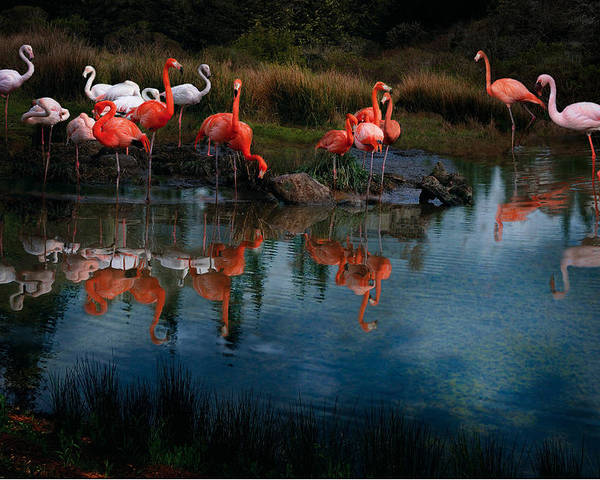 Pink Flamingo Poster featuring the photograph Flamingo Convention by Melinda Hughes-Berland