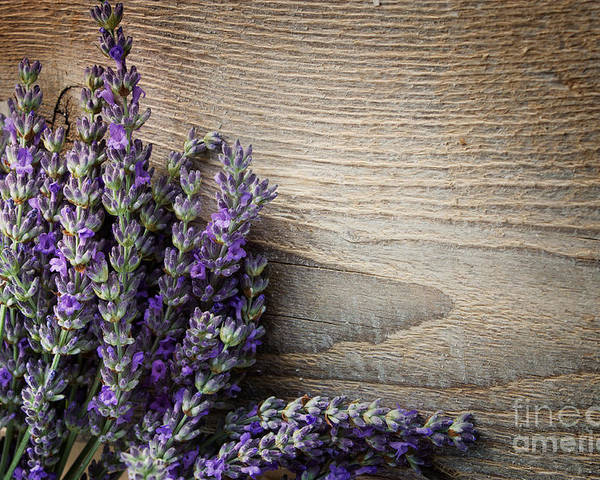 Lavender Poster featuring the photograph Fresh Lavender by Mythja Photography