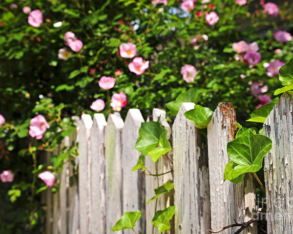 Garden Poster featuring the photograph Garden Fence With Roses by Elena Elisseeva