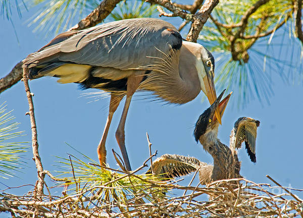 Nature Poster featuring the photograph Great Blue Heron Adult Feeding Nestling by Millard H. Sharp