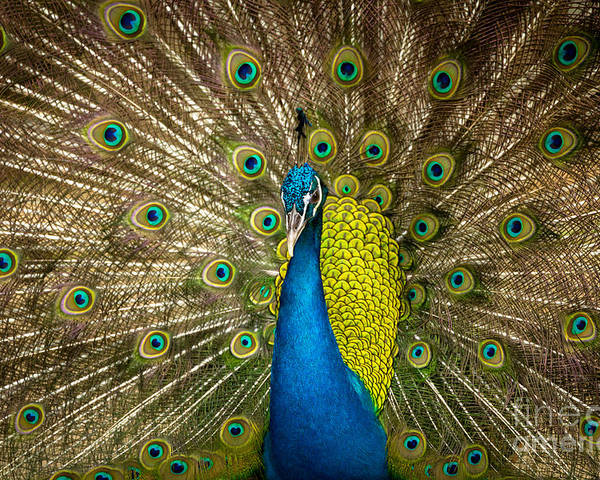 Animal Poster featuring the photograph Green Beautiful Peacock by Tosporn Preede