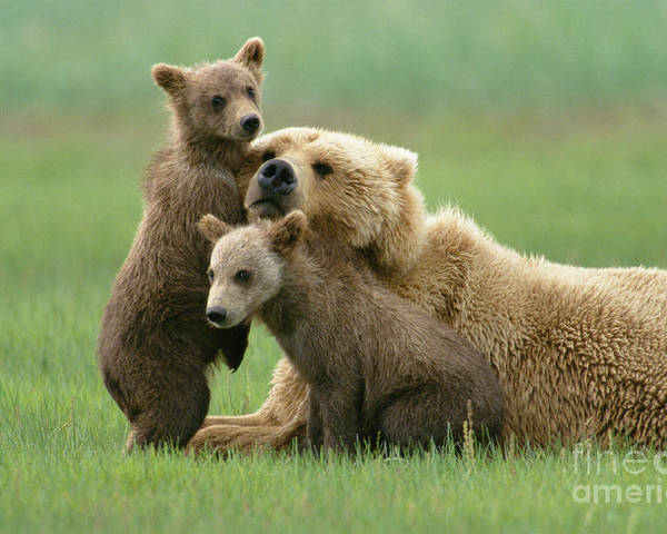 00345263 Poster featuring the photograph Grizzly Cubs Play With Mom by Yva Momatiuk John Eastcott