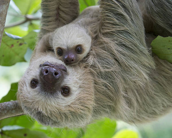 Suzi Eszterhas Poster featuring the photograph Hoffmanns Two-toed Sloth And Old Baby by Suzi Eszterhas