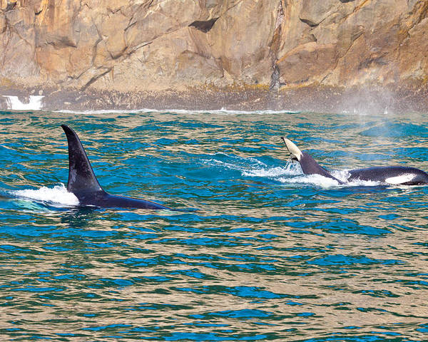 Poster featuring the photograph Killer Whale by Richard Jack-James