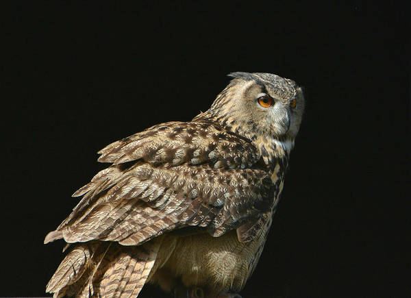 Eurasian Eagle Owl Poster featuring the photograph Knowing by Fraida Gutovich