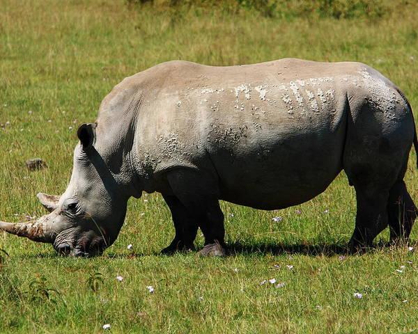 Rhinoceros Poster featuring the photograph Lake Nakuru White Rhinoceros by Aidan Moran