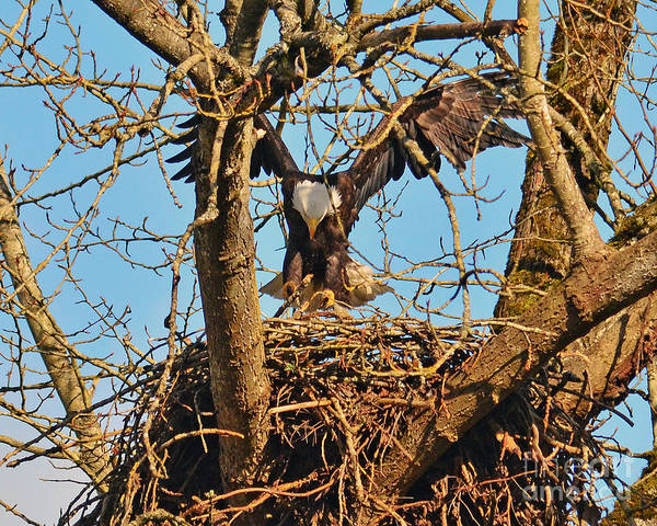 Nesting Bald Eagle Poster featuring the photograph Landing by Jack Moskovita