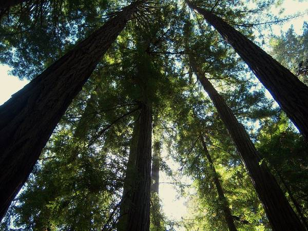 Muir Woods National Monument Poster featuring the photograph Looking Up by Pamela Schreckengost