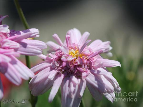 Mccombie Poster featuring the photograph Marguerite Daisy Named Double Pink by J McCombie