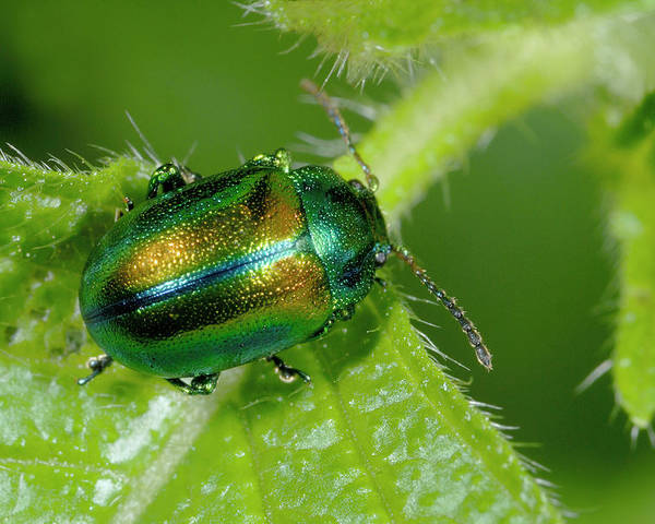 Insect Poster featuring the photograph Mint Beetle by Nigel Downer