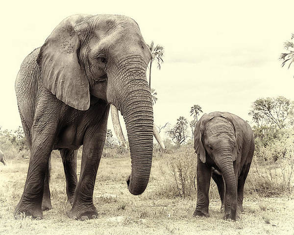 Elephants Poster featuring the photograph Mother And Daughter. by Lyn Darlington