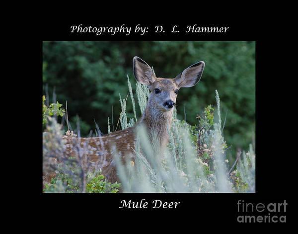 Deer Poster featuring the photograph Mule Deer by Dennis Hammer