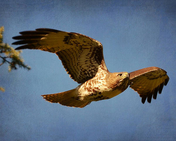 Red Tailed Hawk Poster featuring the photograph Out Of The Blue by Fraida Gutovich