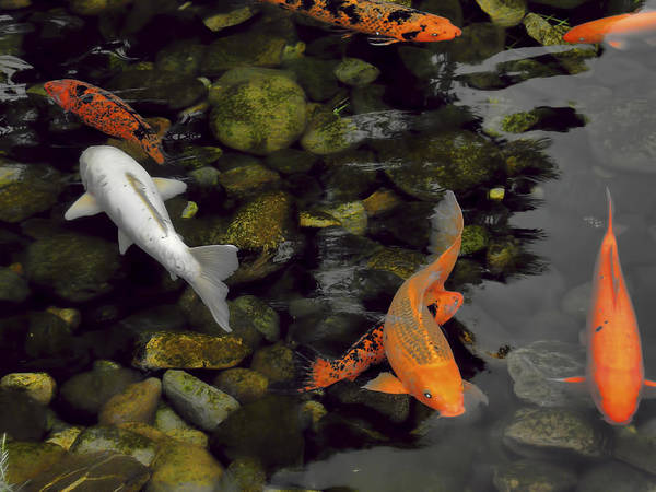 Nature Poster featuring the photograph Swimming Koi by Joel Zimmerman