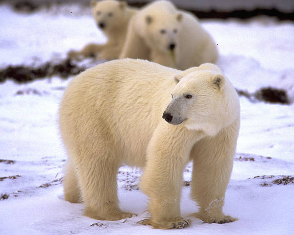 Arctic Poster featuring the photograph Polar Bear Family by Randy Green