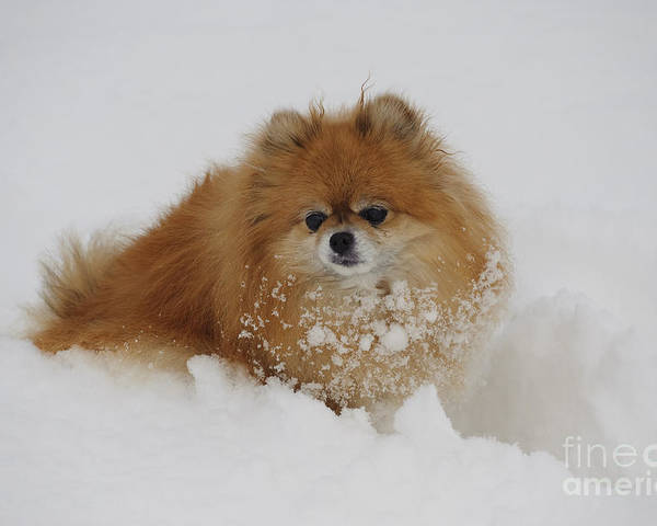 Pomeranian Poster featuring the photograph Pomeranian In Snow by John Shaw