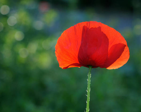 Klaproos Poster featuring the photograph Poppy by Jolly Van der Velden