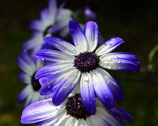Purple Poster featuring the photograph Purple Flower by Barbara Walsh