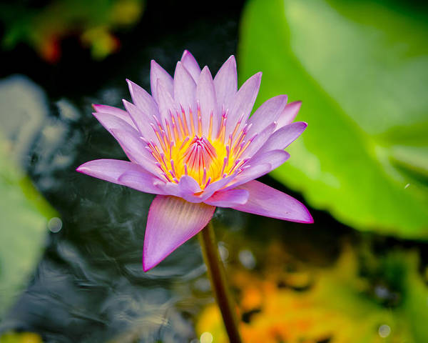Backgrounds Poster featuring the photograph Purple Lotus by Raimond Klavins