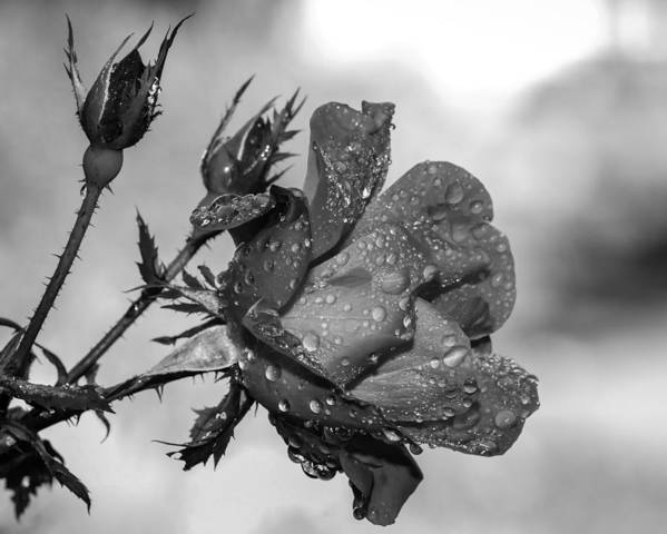 Rose Poster featuring the photograph Raindrop Rose Close-up by Charles Feagans