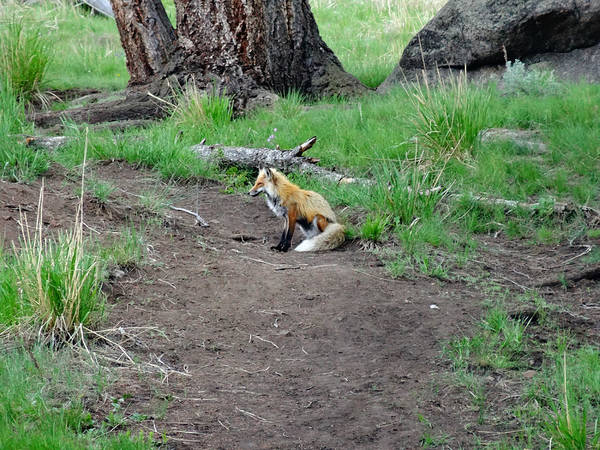 Red Fox In Yellowstone Poster featuring the photograph Red Fox In Yellowstone by Dan Sproul