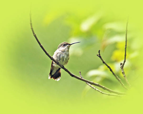 ruby-throated Hummingbird Poster featuring the photograph Ruby-throated Hummingbird - Immature Female - Archilochus Colubris by Mother Nature