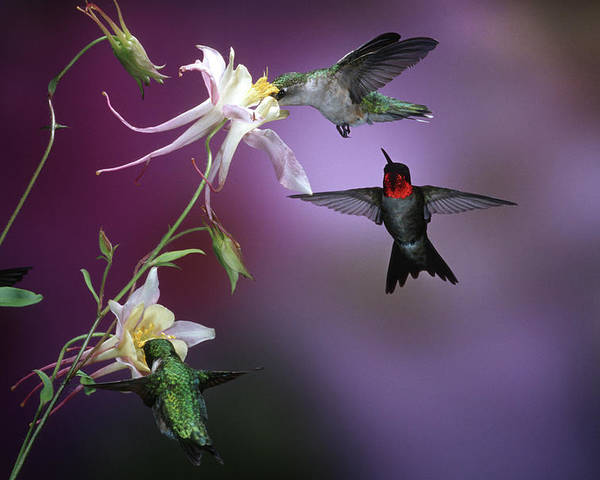 Aquilegia X Hybrida Poster featuring the photograph Ruby-throated Hummingbirds (archilochus by Richard and Susan Day