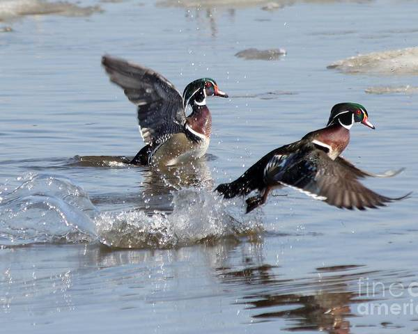 Wood Duck Poster featuring the photograph Running On The Water by Lori Tordsen