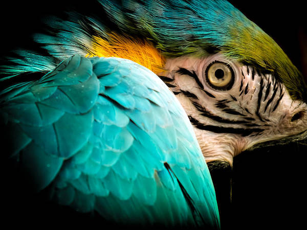 Macaws Poster featuring the photograph Sleeping Beauty by Karen Wiles