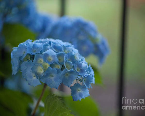 Hydrangea Poster featuring the photograph Soft Blue Hydrangea by Mike Reid