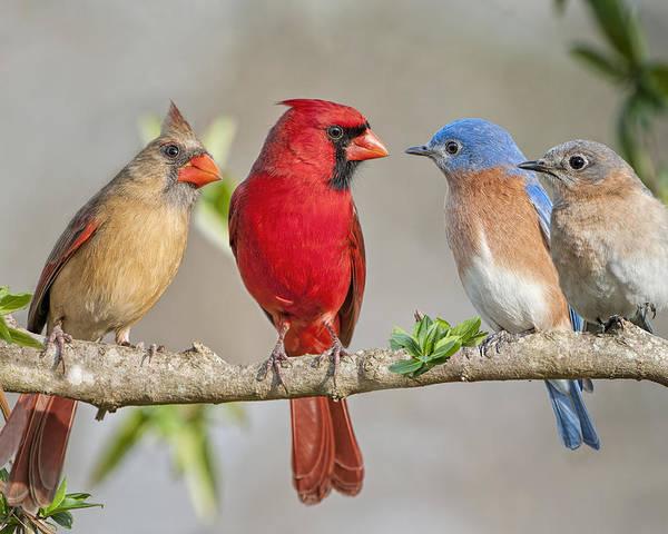 Bluebirds Poster featuring the photograph The Bluebirds Meet The Redbirds by Bonnie Barry