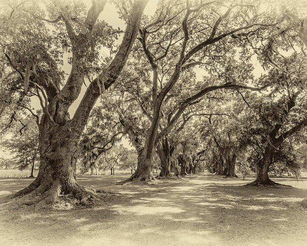 Evergreen Plantation Poster featuring the photograph The Lane Sepia by Steve Harrington