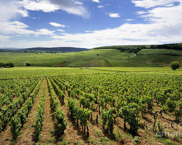 Agricultural  Poster featuring the photograph Vineyard Of Cotes De Beaune. Cote D'or. Burgundy. France. Europe by Bernard Jaubert