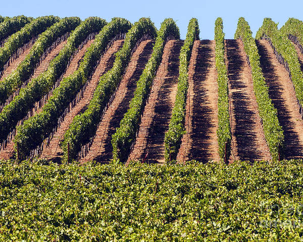 Napa Valley California Wineries Winery Grapevine Grapevines Row Rows Landscape Landscapes Plant Plants Vineyard Vineyards Poster featuring the photograph Vineyard Rows by Bob Phillips