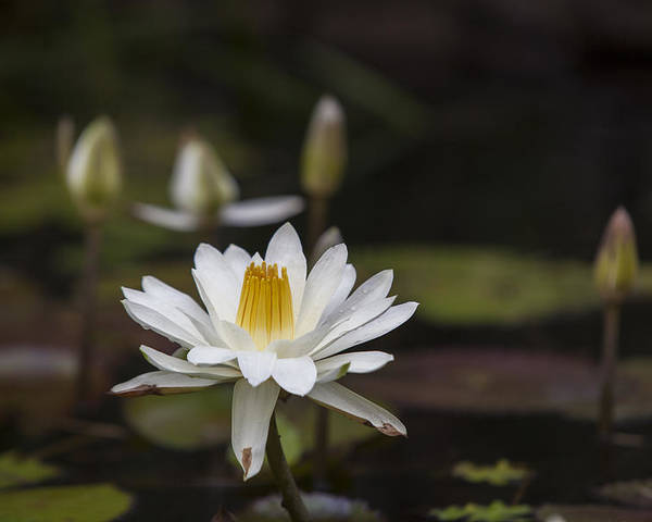 Water Lilly Poster featuring the photograph Water Lilly 6 by Charles Warren