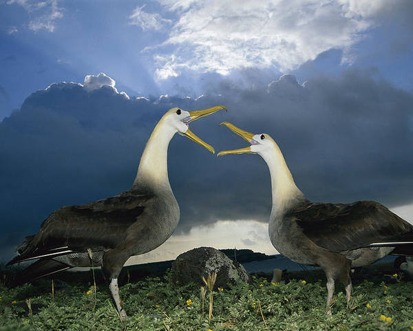 Feb0514 Poster featuring the photograph Waved Albatross Courtship Dance by Tui De Roy