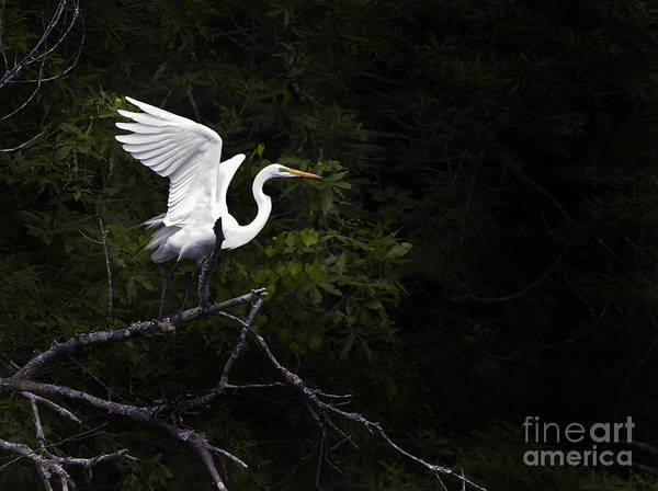 Bird Poster featuring the photograph White Egret's Takeoff by J L Woody Wooden