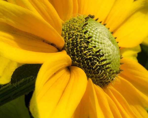 Yellow Poster featuring the photograph Yellow Daisy by Irene Theriau