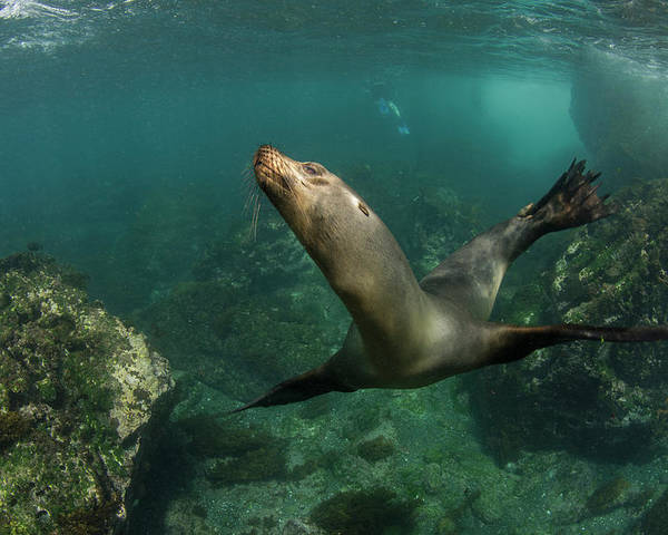 Danita Delimont Poster featuring the photograph Galapagos Sea Lion (zalophus Wollebaeki by Pete Oxford