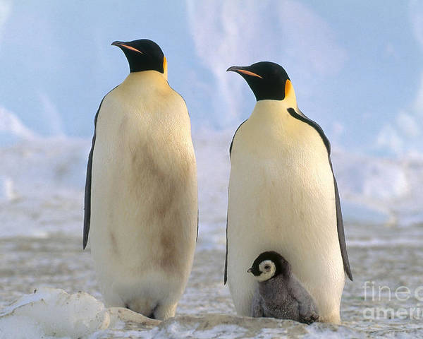 Emperor Penguin Poster featuring the photograph Emperor Penguins by Art Wolfe