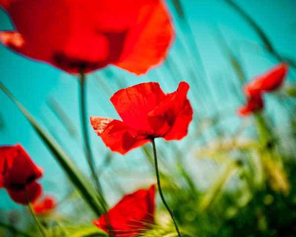 Field Poster featuring the photograph Poppy Field And Sky by Raimond Klavins