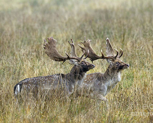 Fallow Deer Poster featuring the photograph 110221p118 by Arterra Picture Library