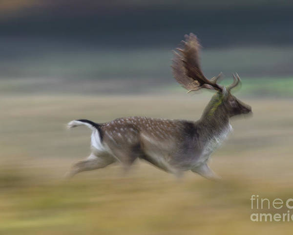 Fallow Deer Poster featuring the photograph 110221p125 by Arterra Picture Library