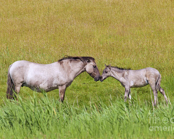 Konik Poster featuring the photograph 130201p027 by Arterra Picture Library